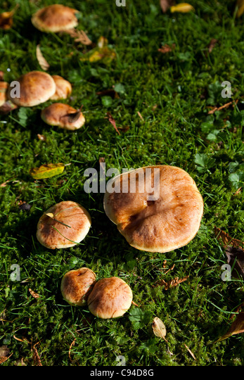 Bolete close up shot, Vancouver BC Canada - Stock Image