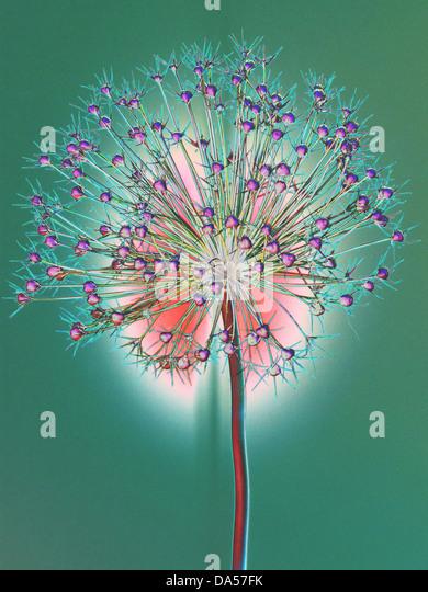 Flower, wilts, Allium, Konzept, Stern, concepts, star, light, green red, alienated - Stock-Bilder