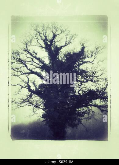 Ancient Oak Tree in The Mist - Stock-Bilder