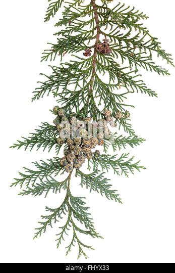 branch of coniferous tree (Chamaecyparis lawsoniana) on white - Stock Image