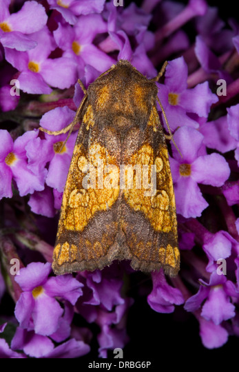 Frosted Orange Moth (Gortyna flavago) adult on buddleia flowers. Powys, Wales. September. - Stock Image