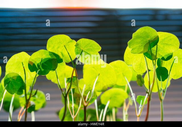Tropaeolum majus flower seedlings under an LED grow light. - Stock Image