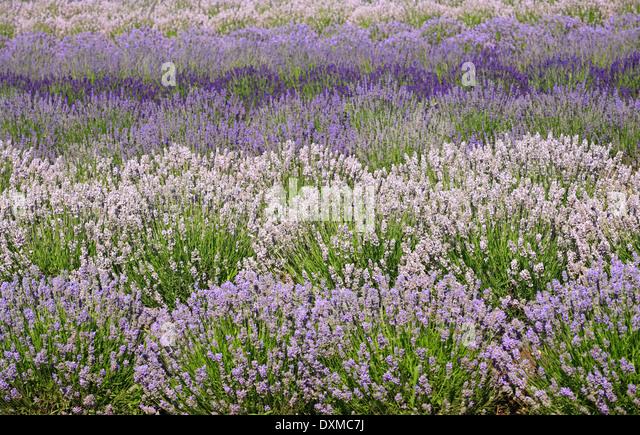 Varieties of Lavender growing at Heacham in Norfolk. - Stock-Bilder