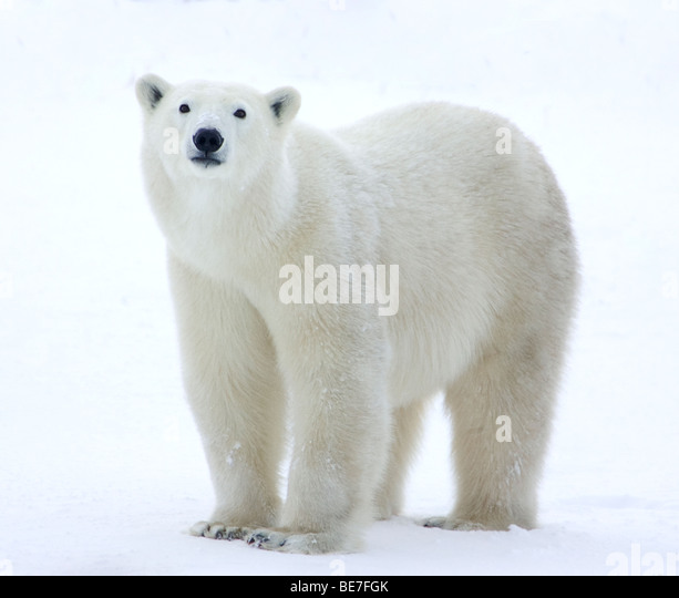 Polar bear standing in field - Stock Image