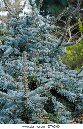 Picea pungens 'Pendula', Weeping Blue Spruce. - Stock Image