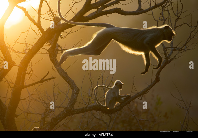 Hanuman Langur leaping through the treetops Bandhavgarh India - Stock-Bilder