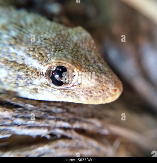 Macro of a Spanish lizard - Stock Image
