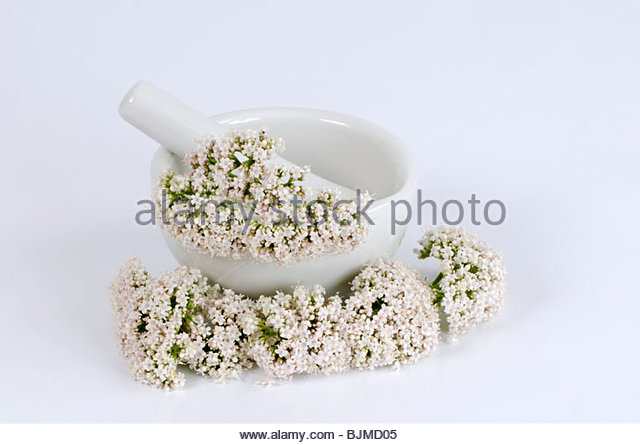 Mortar with valerian flowers (Valeriana officinalis) - Stock Image