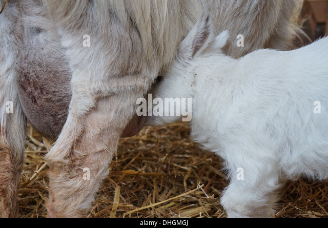Goat suckle her mother - Stock Image