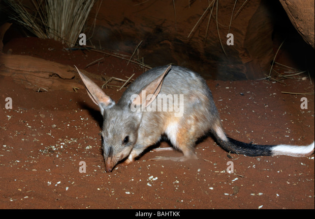a nocturnal greater bilby scavenging at night - Stock Image