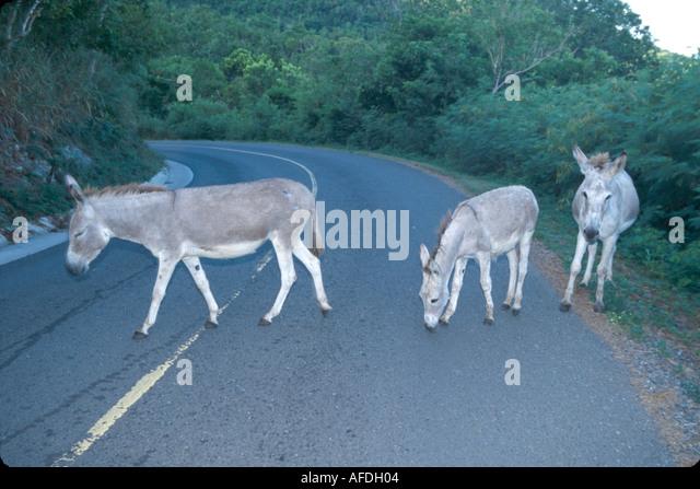 US Virgin Islands St. John Virgin Islands National Park North Shore Road wild donkeys near Caneel Bay USVI008 - Stock Image