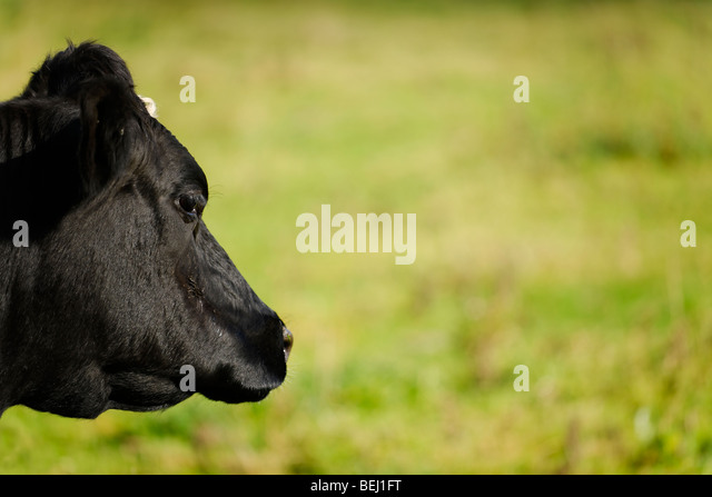 Friesian Cow - Landscape profile - Stock Image