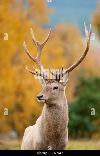 Male Red Deer with full antlers - Stock Image