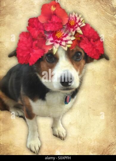 Cavacorgi Dog With Flowers - Stock Image