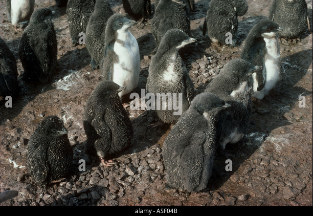 Adelie penguin Pygoscelis adeliae Chicks showing wide range of development Cape Bird Ross Island Antarctica - Stock Image
