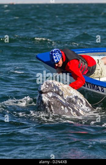 California gray whale (Eschrichtius robustus) and whale watcher on boat, San Ignacio Lagoon, Baja California Sur, - Stock Image