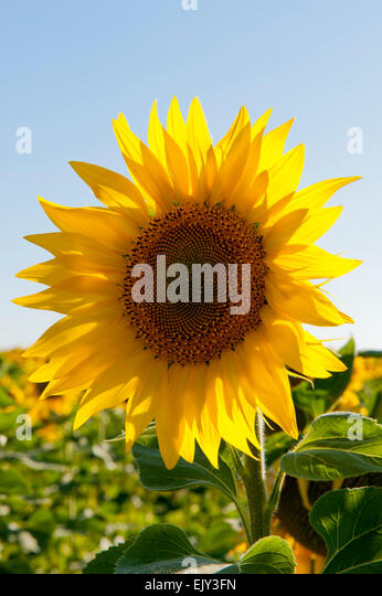Sunflowers sunflower backlit summer - Stock Image