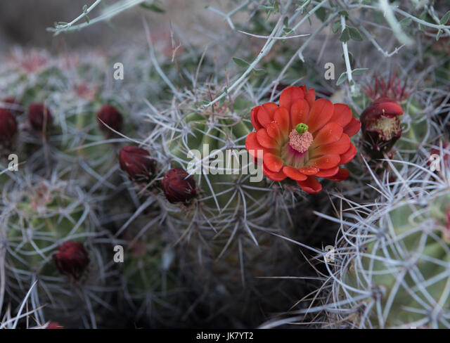 Single Claret Cup Cactus Flower Open with nearby buds - Stock Image