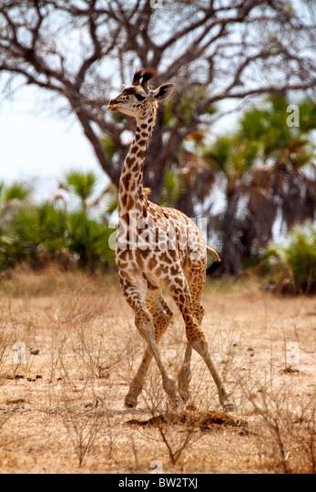 young MAASAI GIRAFFE ( Giraffa camelopardalis tippelskirchi ) Selous National Park Tanzania - Stock Image