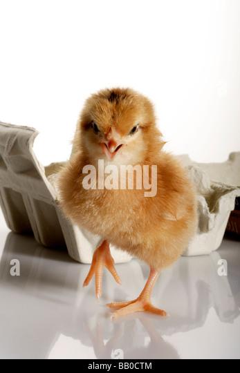 Newly born chick - Stock Image