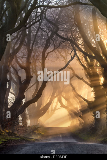 Morning light illuminate the avenue tree's  known as the Dark Hedges in Northern Ireland. - Stock-Bilder