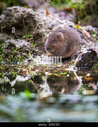 Eurasian water vole ( Arvicola amphibius) holding food on the bank of a stream, UK - Stock Image