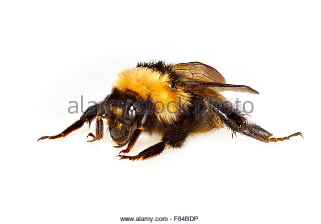 Humble bee isolated on white - Stock Image