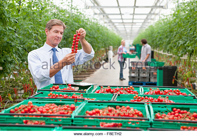 Businessman inspecting ripe red vine tomatoes in greenhouse - Stock Image