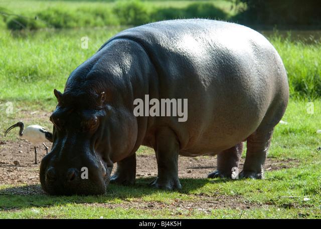 Hippopotamus grazing - Stock-Bilder