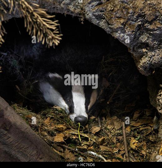 European badger (Meles meles) sleeping in den / sett in coniferous forest - Stock Image