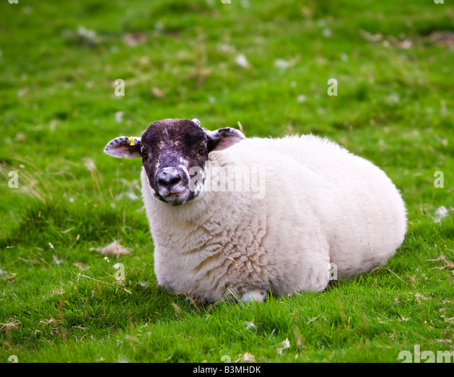 Young Swaledale yearling ewe lying on grass Cumbria England UK - Stock Image