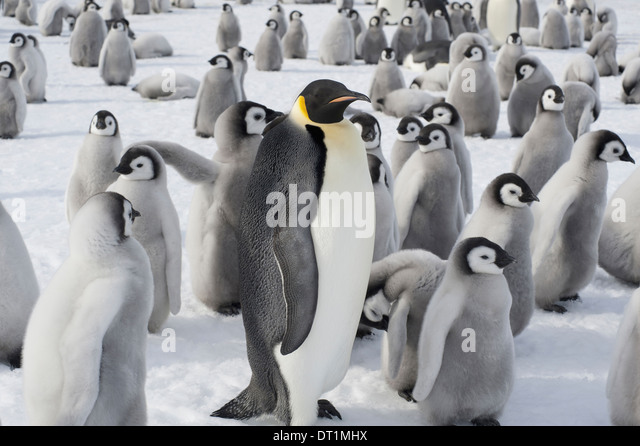A group of Emperor penguins one adult animal and a large group of penguin chicks A breeding colony - Stock Image