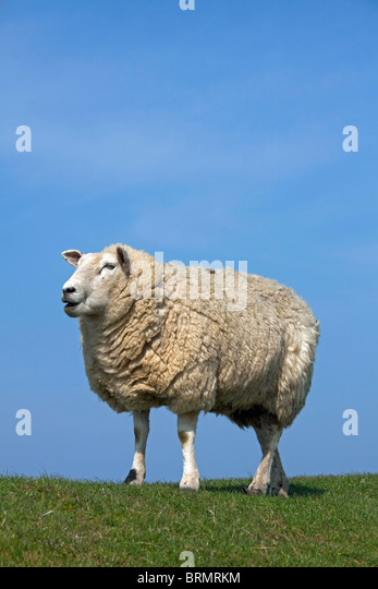 Domestic Sheep (Ovis ammon aries). Single individual on a levee, seen against a blue sky. - Stock Image