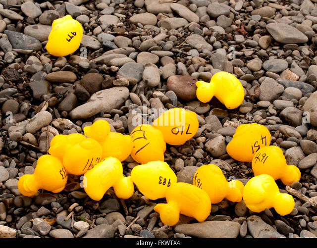 Yellow plastic ducks left after a Charity race on the River Wye at Glasbury in Powys, Wales - Stock Image