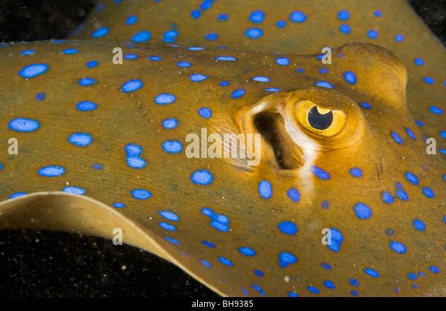 Blue spotted Ray, Taeniura lymma, Lembeh Strait, Sulawesi, Indonesia - Stock-Bilder