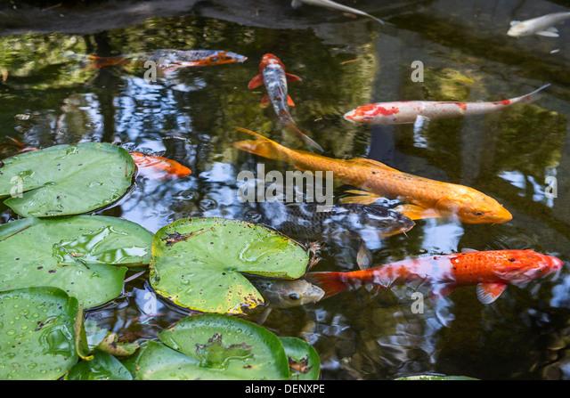 Fish garden stock photos fish garden stock images alamy for Koi pool water gardens thornton