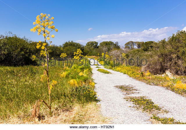 Wild Fennel at Archaeological Site of Salamis, Gazimagusa, Famafusta District, Northern Cyprus, Cyprus - Stock Image