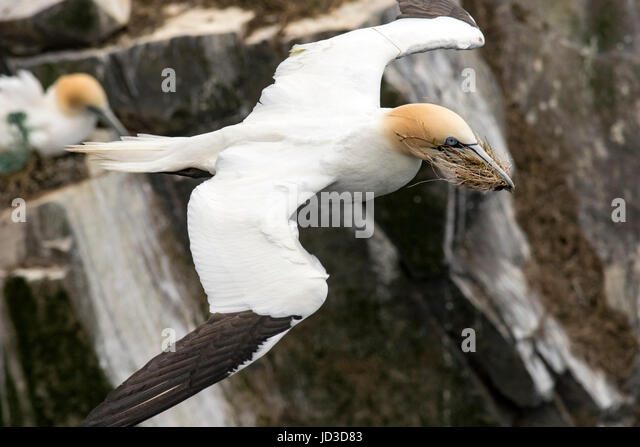 Northern Gannet (Morus bassanus) flying with nesting material at Cape St. Mary's Ecological Reserve, Cape St. - Stock Image