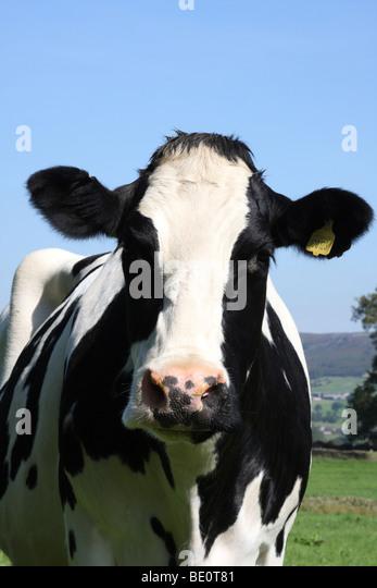 A fresian cow on a farm in Derbyshire, England, U.K. - Stock Image