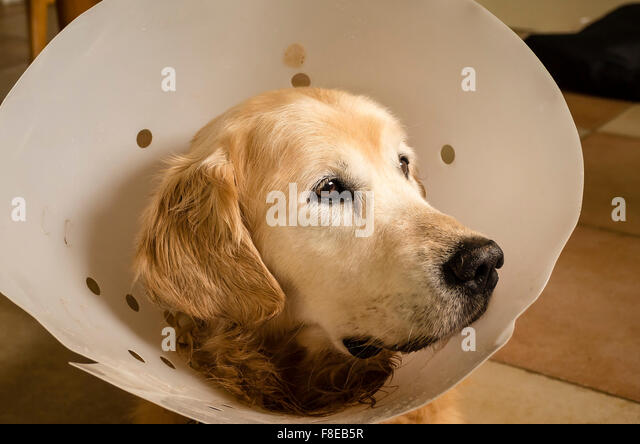 Golden retriever dog wearing a surgical collar after abdominal operation - Stock Image