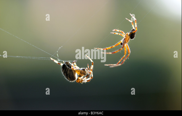 Two Garden Spiders Araneus diadematus or diadem spider also called the cross spider in Eastern Europe perform their - Stock-Bilder