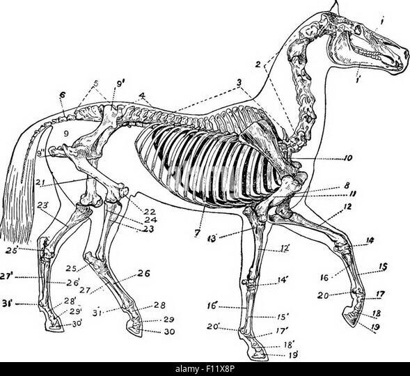 horse skeleton stock photos horse skeleton stock images. Black Bedroom Furniture Sets. Home Design Ideas