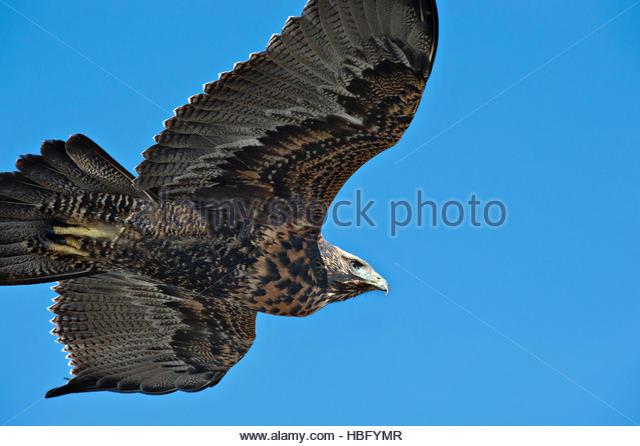 A bird of prey soars above Punta Norte, Argentina. - Stock Image