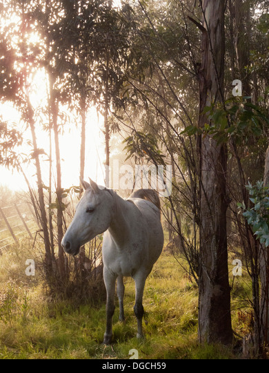 Criollo horse in forest, Uruguay - Stock Image