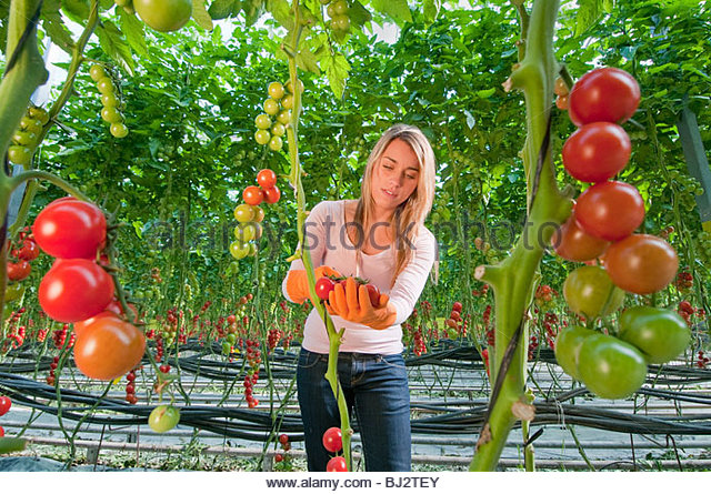 young woman in tomato greenhouse - Stock Image