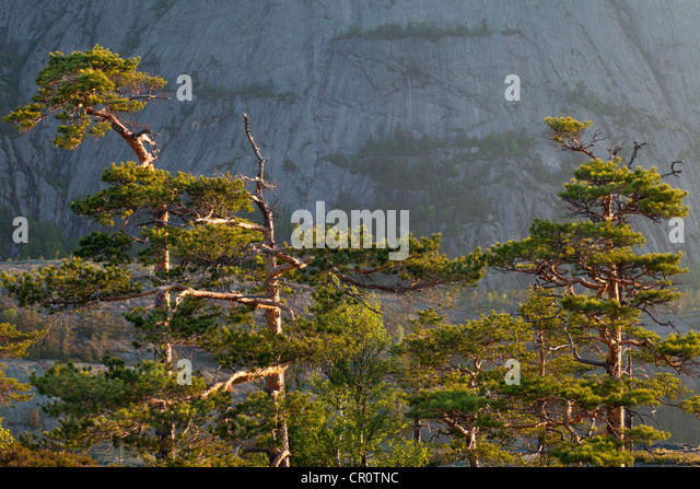 Pine trees at dawn, at Måfjell in Nissedal, Telemark fylke, Norway. - Stock-Bilder