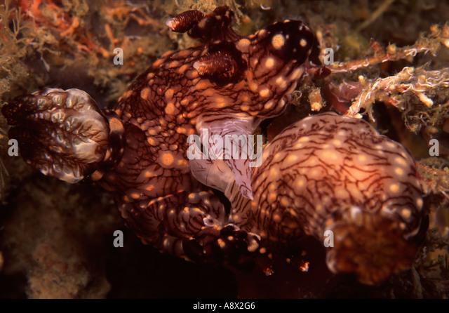 Mating Kentrodoris rubescens - Stock Image