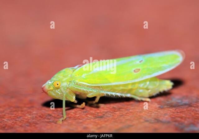 Close-up of a Cicada. Boquete, Panama - Stock Image