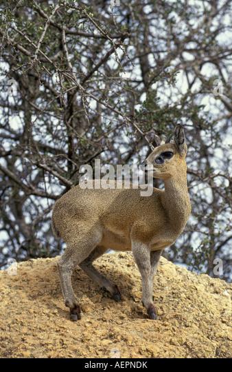 Zimbabwe Hwange National Park Klipspringer - Stock Image