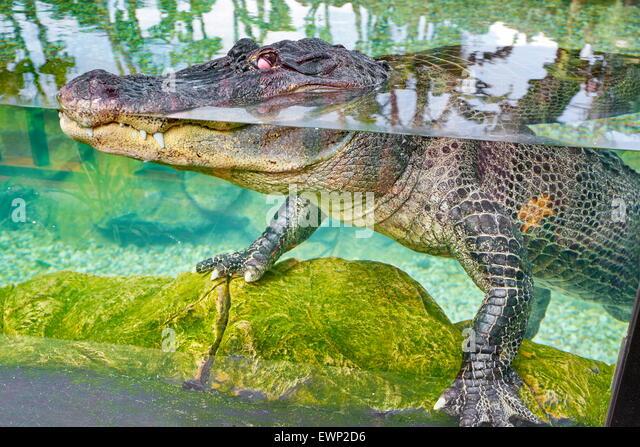 Loro Parque, crocodile in aquarium. Puerto de la Cruz, Tenerife, Canary Islands, Spain - Stock Image